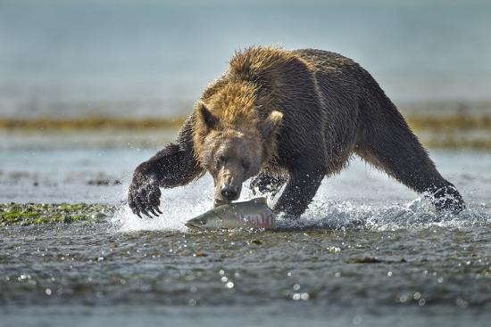 paul-souders-brown-bear-and-salmon-katmai-national-park-alaska