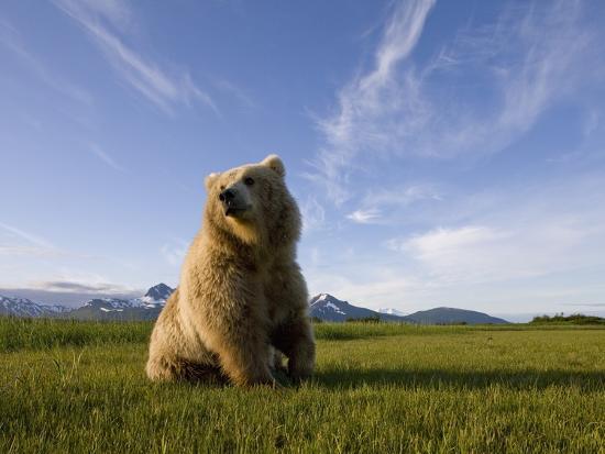 paul-souders-brown-bear-in-meadow-at-hallo-bay-in-katmai-national-park