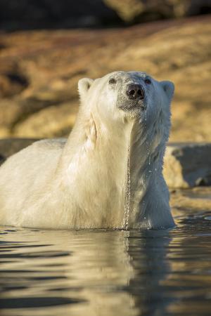 paul-souders-canada-nunavut-polar-bear-wading-into-shallow-water-of-hudson-bay
