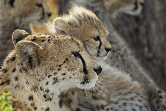 paul-souders-cheetah-cub-and-mother