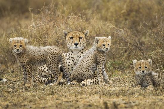 paul-souders-cheetah-cubs-and-their-mother