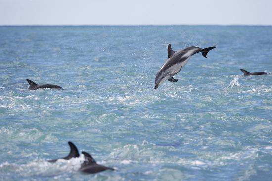 paul-souders-dusky-dolphin-leaping