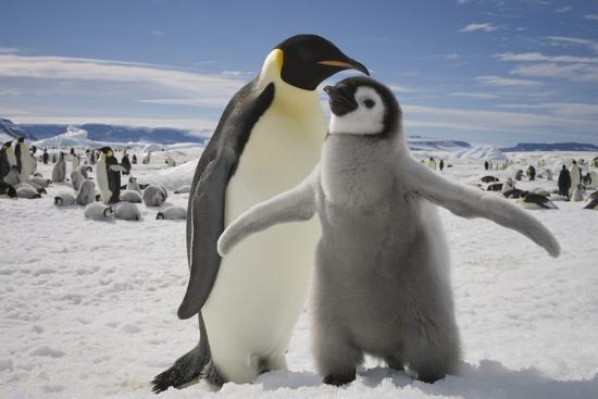paul-souders-emperor-penguin-and-chick-in-antarctica