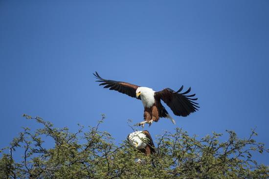paul-souders-fish-eagles-mating-chobe-national-park-botswana