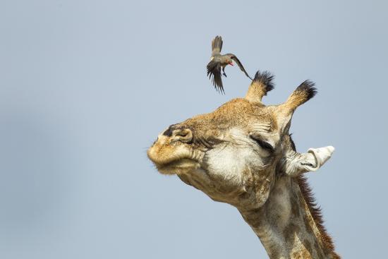 paul-souders-giraffe-and-pesky-bird-moremi-game-reserve-botswana