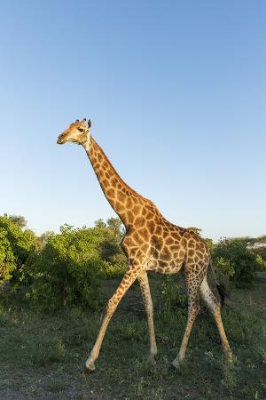 paul-souders-giraffe-kruger-national-park-south-africa