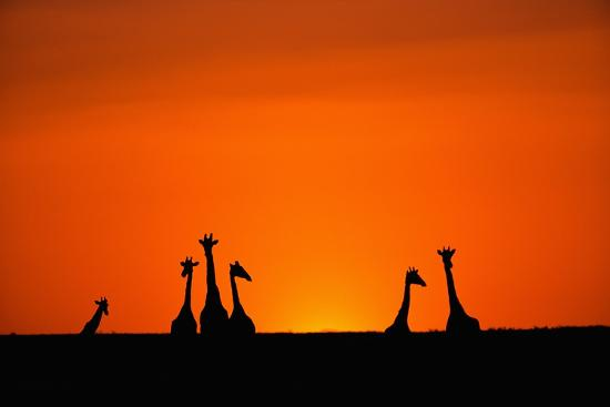 paul-souders-giraffe-silhouettes-at-sunset