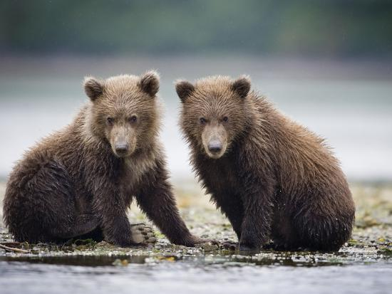 paul-souders-grizzly-bear-cubs-at-geographic-harbor-in-katmai-national-park