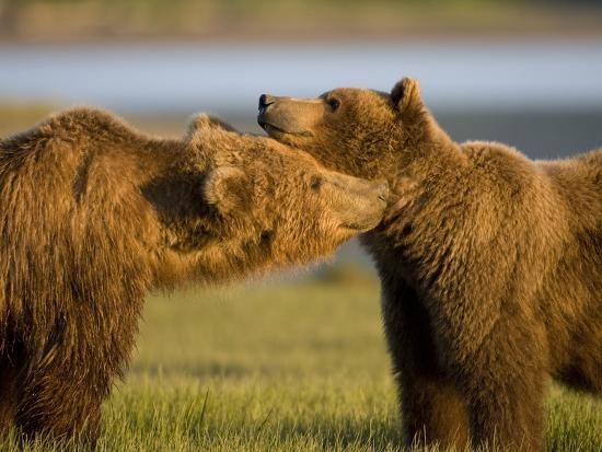 paul-souders-grizzly-bears-greeting-each-other-in-meadow-at-hallo-bay
