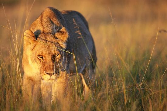 paul-souders-lioness-walking-through-grass