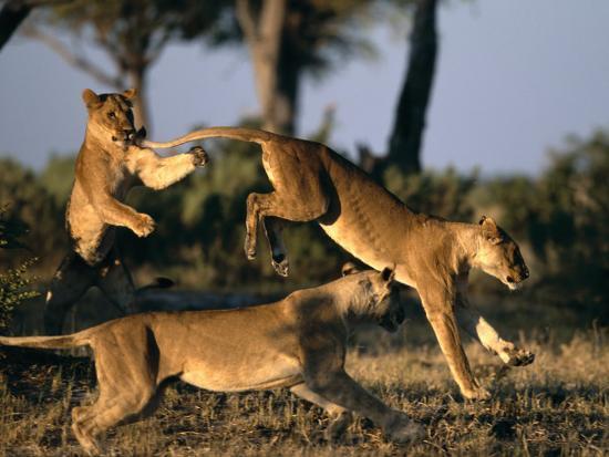paul-souders-lionesses-playing-near-rhino-pan-in-savuti-marsh-chobe-national-park-botswana