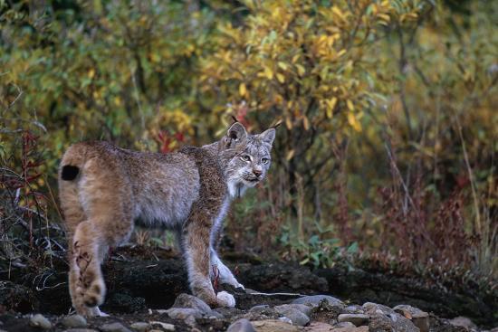 paul-souders-lynx-near-toklat-river-in-alaska