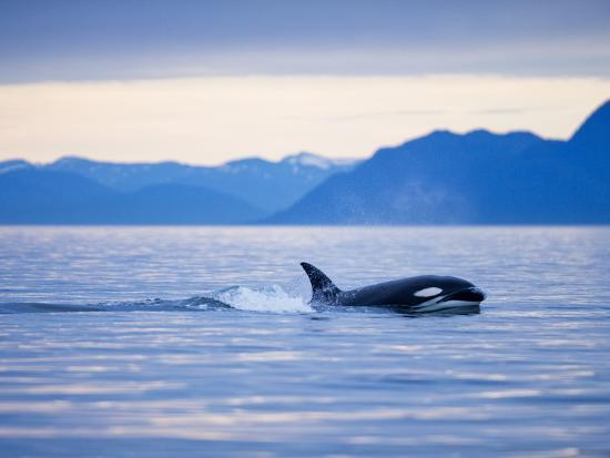 paul-souders-orca-or-killer-whale-in-frederick-sound