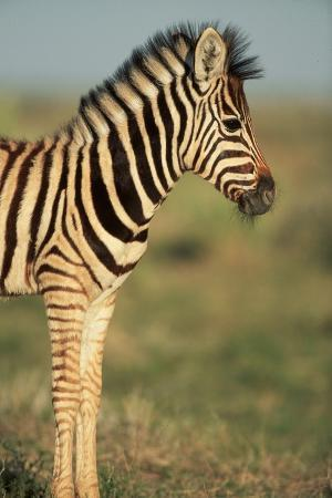paul-souders-plains-zebra-at-sunset