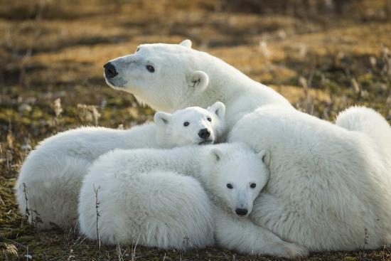 paul-souders-polar-bear-and-cubs-by-hudson-bay-manitoba-canada