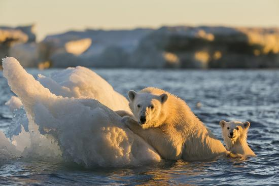 paul-souders-polar-bear-and-young-cub-cling-to-melting-sea-ice-at-sunset-near-harbor-islands-canada