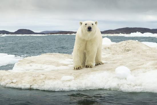 paul-souders-polar-bear-on-hudson-bay-pack-ice-nunavut-canada