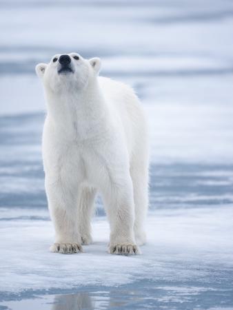 paul-souders-polar-bear-svalbard-norway