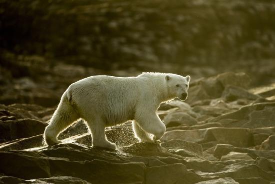 paul-souders-polar-bear-walking-along-hudson-bay-nunavut-canada
