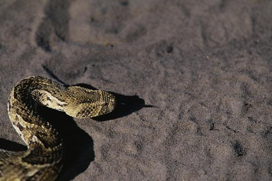 paul-souders-puff-adder-on-sand