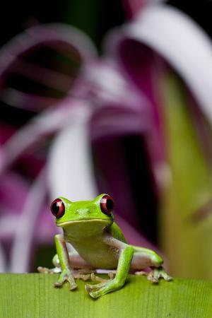 paul-souders-red-eyed-tree-frog-costa-rica