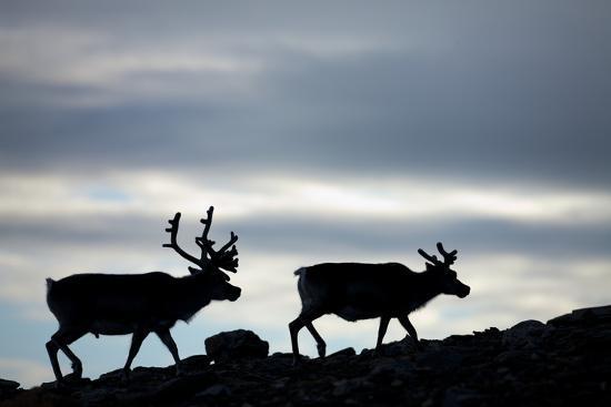 paul-souders-reindeer-svalbard-norway
