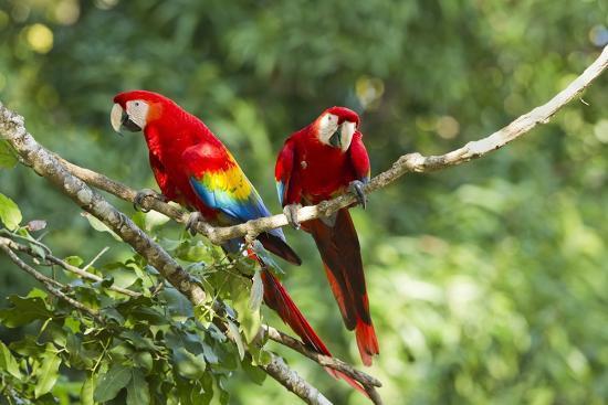 paul-souders-scarlet-macaws-costa-rica