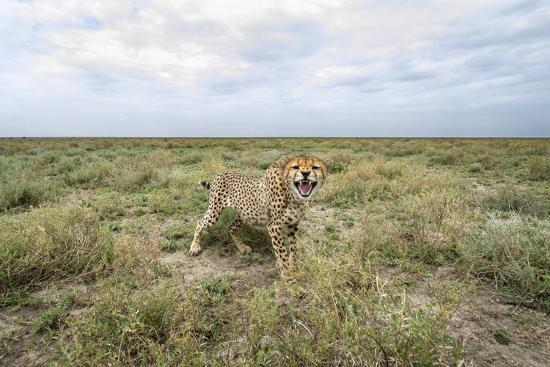 paul-souders-snarling-cheetah