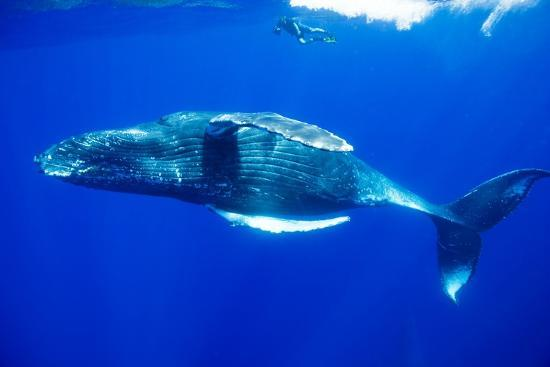 paul-souders-snorkeler-swimming-above-humpback-whale