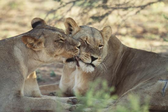 paul-souders-south-africa-kalahari-gemsbok-national-park-kgalagadi-park-pride-of-lions