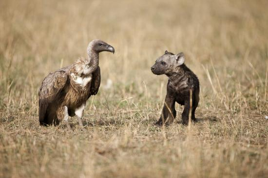 paul-souders-spotted-hyena-pup-and-whitebacked-vulture