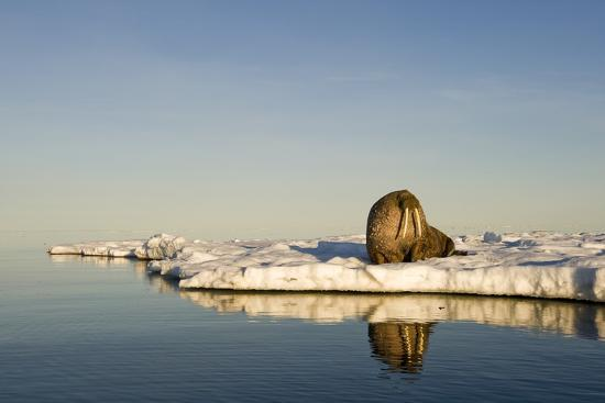 paul-souders-walrus-on-iceberg-near-kapp-lee-in-midnight-sun