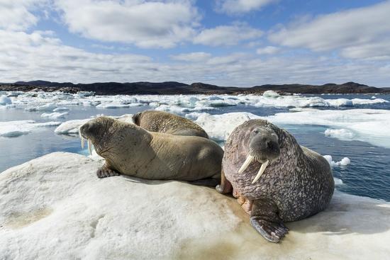paul-souders-walrus-resting-on-ice-in-hudson-bay-nunavut-canada