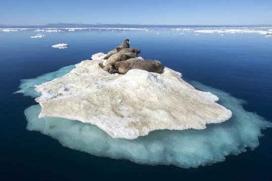 paul-souders-walruses-on-iceberg-hudson-bay-nunavut-canada