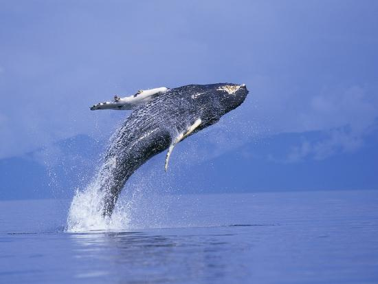paul-souders-young-humpback-whale-breaching-in-frederick-sound