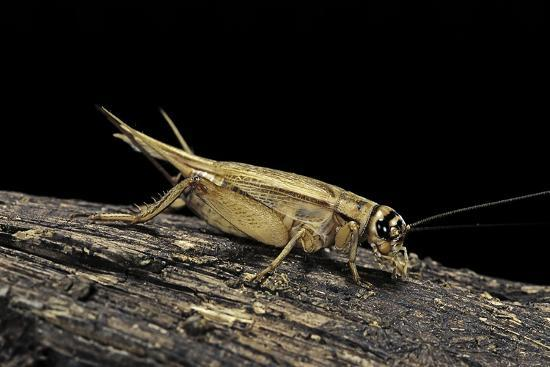 paul-starosta-acheta-domesticus-house-cricket