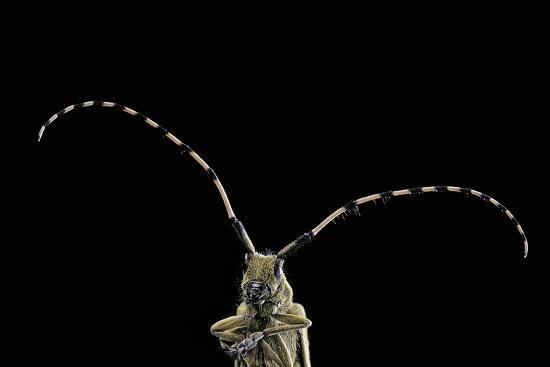 paul-starosta-agapanthia-dahli-longhorn-beetle