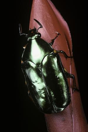 paul-starosta-agestrata-orichalca-flower-beetle