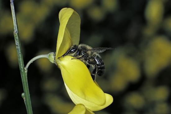 paul-starosta-apis-mellifera-honey-bee-foraging-on-a-broom-flower