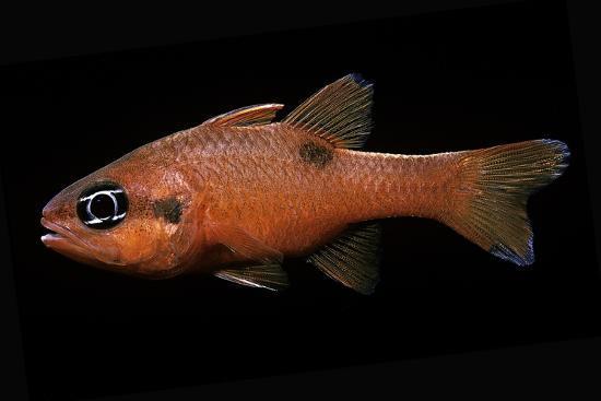 paul-starosta-apogon-maculatus-flamefish-spotted-cardinalfish