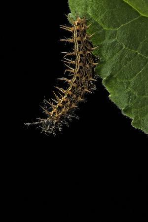 paul-starosta-argynnis-paphia-silver-washed-fritillary-caterpillar