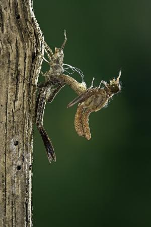 paul-starosta-calopteryx-virgo-beautiful-demoiselle-emerging