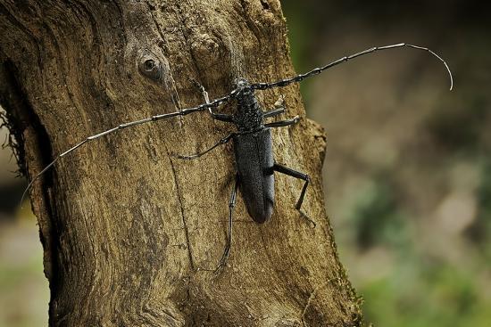 paul-starosta-cerambyx-cerdo-great-capricorn-beetle