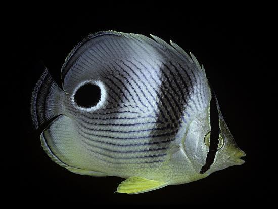 paul-starosta-chaetodon-capistratus-foureye-butterflyfish-four-eyed-butterflyfish