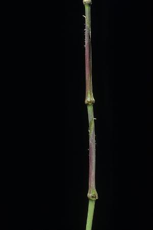 paul-starosta-chimonobambusa-tumidissinoda-walking-stick-bamboo