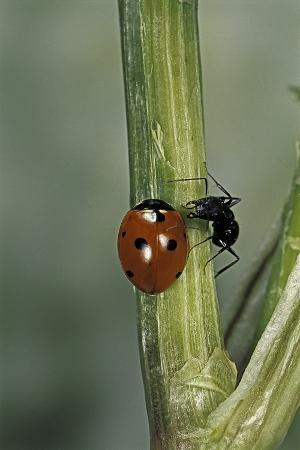 paul-starosta-coccinella-septempunctata-sevenspotted-lady-beetle-with-ant