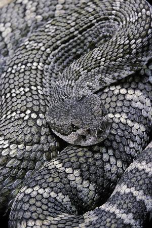 paul-starosta-crotalus-viridis-prairie-rattlesnake