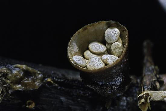paul-starosta-crucibulum-laeve-common-bird-s-nest-fungus