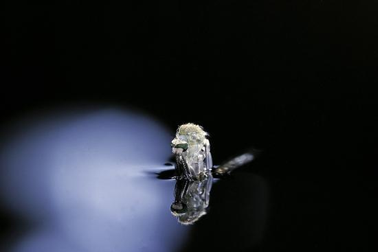 paul-starosta-culex-pipiens-common-house-mosquito-emerging-b3