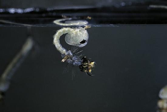paul-starosta-culex-pipiens-common-house-mosquito-emerging-of-the-pupa